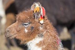 Portrait of beautiful Llama, Bolivia Stock Photography