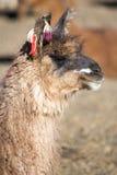 Portrait of beautiful Llama, Bolivia Stock Photos