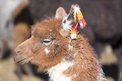 Portrait of beautiful Llama, Bolivia Stock Images