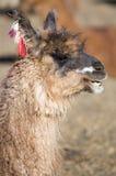 Portrait of beautiful Llama, Bolivia Stock Photo