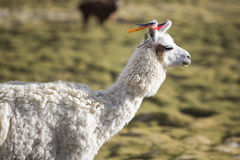 Portrait of beautiful Llama, Bolivia Royalty Free Stock Images