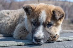 Portrait of a beautiful lonely homeless puppy mongrels in the village. Portrait of a beautiful lonely cute homeless puppy mongrels in the village royalty free stock photo
