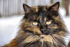 Portrait of beautiful long hair tortoiseshell cat with yellow eyes royalty free stock photos