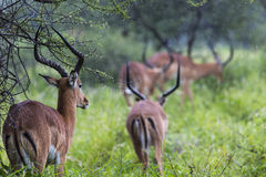 A portrait of a beautiful male impala ram.Tarangire National Par Stock Images