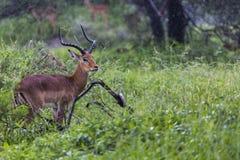 A portrait of a beautiful male impala ram.Tarangire National Par Royalty Free Stock Photography