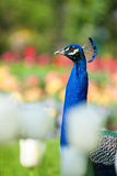 Portrait of beautiful male peacock Stock Photography