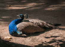 Portrait of a beautiful male peacock. Peahen sitting on a brown ground in a zoo.  Stock Images