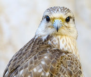 Portrait of a beautiful male peregrine falcon Royalty Free Stock Images