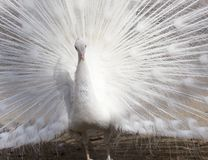 Portrait of the beautiful male white peacock with spread tail feathers.  Royalty Free Stock Photography