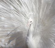 Portrait of the beautiful male white peacock with spread tail feathers.  Stock Photos
