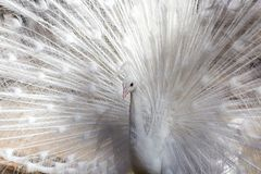 Portrait of the beautiful male white peacock with spread tail feathers.  Stock Photo