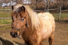 Portrait of beautiful minishetland stallion Royalty Free Stock Images