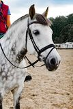 Portrait of a beautiful oldenburg horse in harness on a stable royalty free stock photography