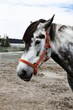 Portrait of a beautiful oldenburg horse in harness on a stable stock photography