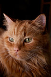 Portrait of beautiful orange cat Royalty Free Stock Image