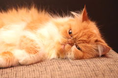Portrait of a beautiful orange Persian cat Stock Photo