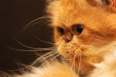 Portrait of a beautiful orange Persian cat Stock Image