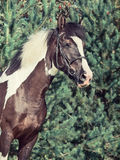 Portrait of the beautiful paint draft horse Royalty Free Stock Photography