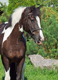 Portrait of the beautiful paint draft horse Stock Images
