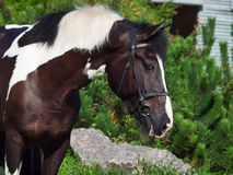 Portrait of the beautiful paint draft horse Stock Image