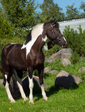 Portrait of the beautiful paint draft horse Stock Photos