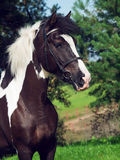 Portrait of the beautiful paint draft horse Royalty Free Stock Image
