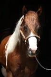 Portrait of beautiful paint horse stallion Stock Photography