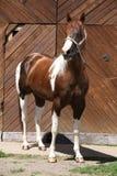 Portrait of beautiful paint horse stallion Royalty Free Stock Image