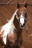 Portrait of beautiful paint horse stallion Stock Images