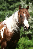 Portrait of beautiful paint horse stallion Stock Image