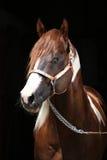 Portrait of beautiful paint horse stallion