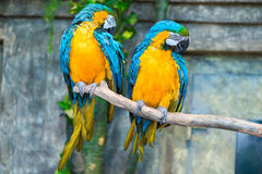 Portrait of a beautiful pair of parrots Stock Images
