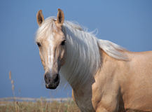 Portrait of beautiful palomino horse. On a sky background Stock Photography