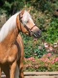 Portrait of beautiful palomino welsh pony Stock Photo