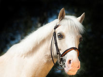 Portrait of  beautiful palomino welsh pony Royalty Free Stock Photos