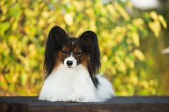 Beautiful papillon dog lying on the wooden bench in the park in bright fall. Continental toy spaniel outdoors. Close-up