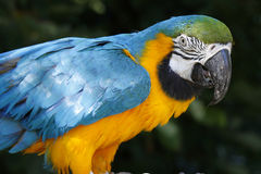 A portrait of a beautiful parrot.  Stock Images