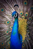 Portrait of beautiful peacock Royalty Free Stock Images