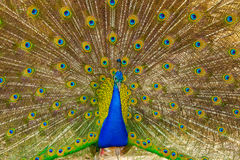 The portrait of beautiful peacock Royalty Free Stock Images