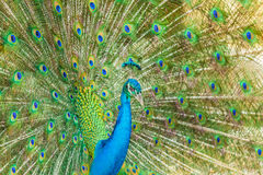 The portrait of beautiful peacock Stock Image