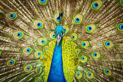 Portrait of beautiful peacock Stock Photography
