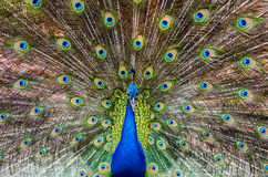 Portrait of beautiful peacock. Close up of peacock showing its beautiful feathers Stock Photography
