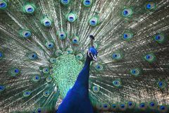 Portrait of beautiful peacock. With feathers out Stock Images