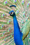 Portrait of beautiful peacock Royalty Free Stock Photos