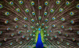 Portrait of beautiful peacock Stock Photo