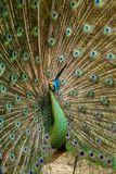 Portrait of beautiful peacock Stock Photos