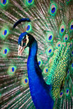 Portrait of beautiful peacock Stock Image