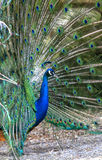 Portrait of beautiful peacock with feathers out Royalty Free Stock Image
