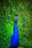 Portrait of beautiful peacock Royalty Free Stock Image