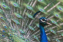 Portrait of beautiful peacock with feathers out Royalty Free Stock Images